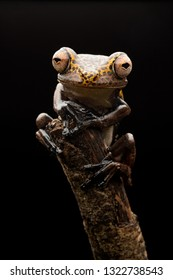 treefrog Hypsiboas geograficus a tropical tree frog from the Amazon rain forest