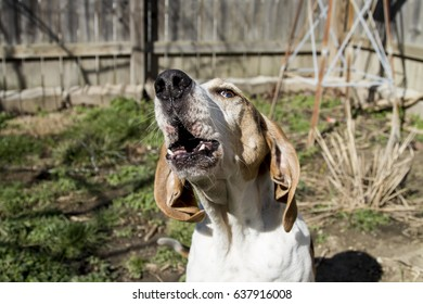 Treeing Walker Coon Hound Howling