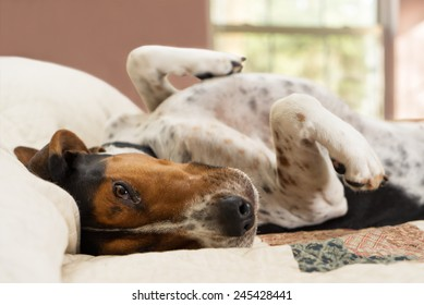 Treeing Walker Coonhound dog lying upside down on human bed with quilt looking tired lazy sleepy worn out exhausted comfortable relaxed stress free pampered cozy
