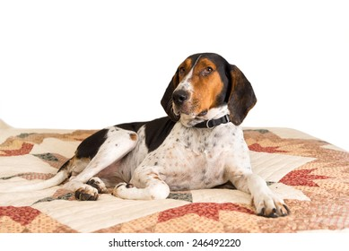 Treeing Walker Coonhound dog lying down on human bed with quilt looking tired lazy mischievous worn out exhausted comfortable relaxed stress-free pampered cozy melancholy lethargic sick unwell at home