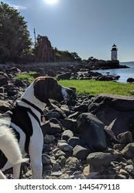 Treeing Walker Coonhound enjoying the ocean in the morning