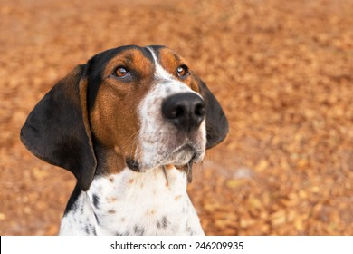 Treeing Walker Coonhound hound dog looking expectantly begging waiting watching staring sitting obediently with ears forward