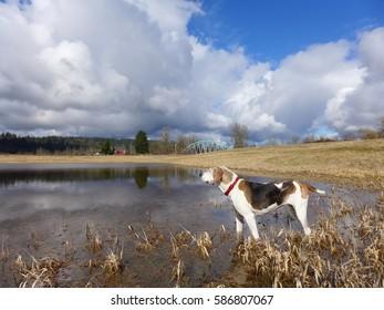 Treeing Walker Coonhound Standing in Winter Pond, Novelty Bridge in Background