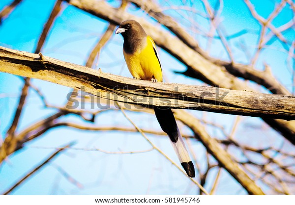 Treepie in the forest