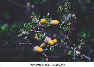 trees with acorns