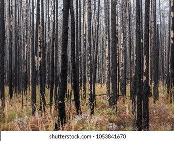 Trees after fire in the Lake Baikal, Russia