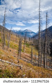 Trees after a forest fire in Kootenay National Park, British Columbia, Canada
