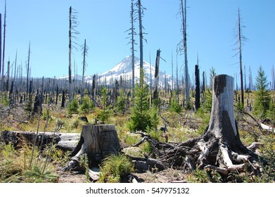 Trees after forest fire on Mt.Hood, Oregon, USA