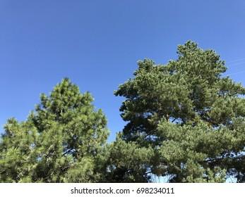Trees against blue summer sky