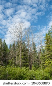 Trees against a bright cloudy sky in Kananaskies Valley