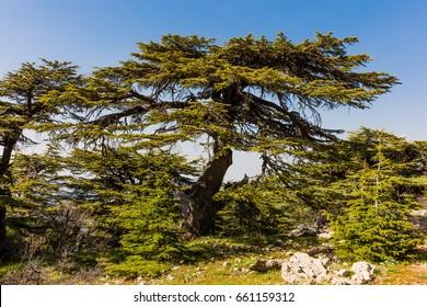trees of Al Shouf Cedar Nature Reserve Barouk  in mount Lebanon Middle east