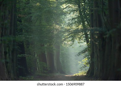 Trees along foggy forest path in summer.