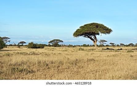 Trees Amboseli National Park in Kenya. Kenya