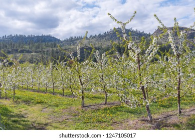 Trees in apple orchard blooming in April