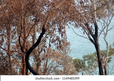 Trees in an Australian forest have been burnt by a bush fire. Some of the trunks are black, and burnt seed pods are on some branches. One tree has green leaves. The ocean can be seen through the trees