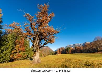 Trees in autumn, oak, pines and larches. Sella Valley (Val di Sella), Italian Alps, Borgo Valsugana, Trentino Alto Adige, Italy