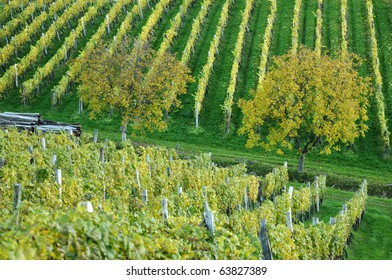 Trees in autumn vineyard