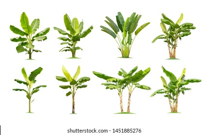 trees Banana. Isolated tree on white background , The collection of banana trees. Tree database Botanical garden organization elements of nature in Thailand,