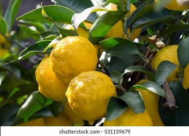 Trees bear a citrona small citrus fruit-Citrus junos- in Fukuoka city, JAPAN. It is in November. We called Yuzu the citrona small citrus fruit.