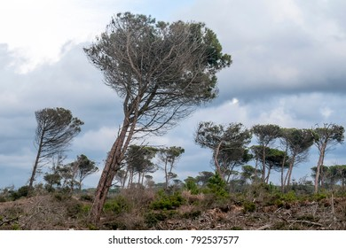Trees bent by the wind in the pine forest, San Rossore, Pisa, Tuscany, Italy