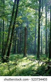 Trees in Bialowieza National Park, strict reserve