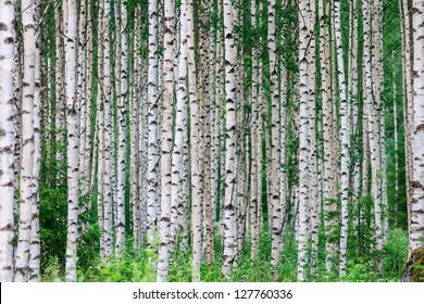 Trees in the birch wood in a row in summer
