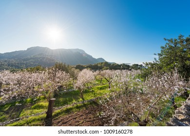 Trees in blossom in a rural landscape of Mallorca, Spain