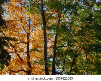 Trees and branches with yellow and orange autumn leaves as nature background. The sun shining through the tree in golden autumn in the forest, vibrant fall colors. Turku, Finland.