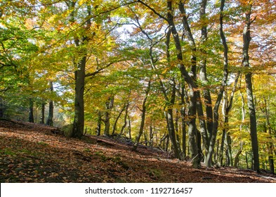 Trees with bright colored leaves in the autumn forest of Male Karpaty Mts., Slovakia