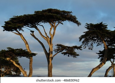 Trees by the Pacific Ocean