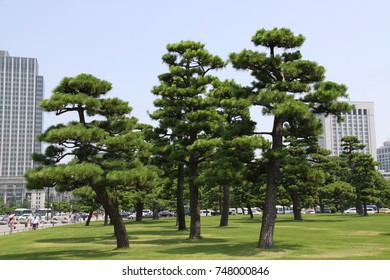 The trees in the capital city, Tokyo
