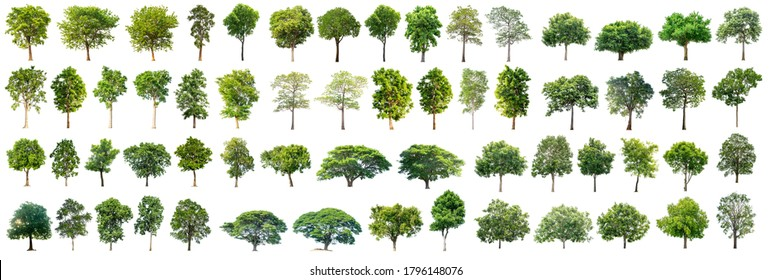 The trees are completely separated from the white background. Scientific name Cassia fistula Linn. Common name Ratchaphruek.