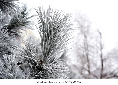 Trees covered by white snow in winter, nature winter background