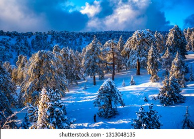 Trees covered with hoarfrost and snow in Troodos mountains. Cyprus.