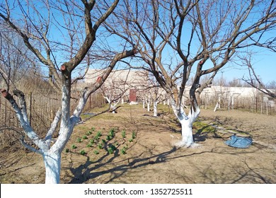 Trees covered with white lime at the dacha. The whitewashing of the trees protects the bark of the tree from sunburn from the winter and early spring sun, when foliage, which serves as protection.
