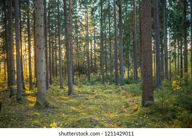 Trees in a deep Scandinavian forest at sunset