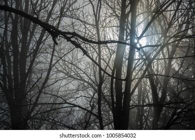 trees in the dense fog