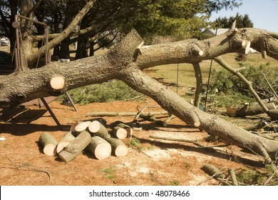 Tree's down and being cut-up with chain saw