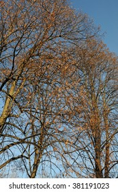 Trees with dry leaves in afternoon sun