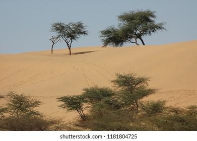 Trees in the dunes of the desert area near Jaisalmer, Rajasthan, India