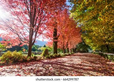 Trees during Autumn in Bright, Victoria, Australia