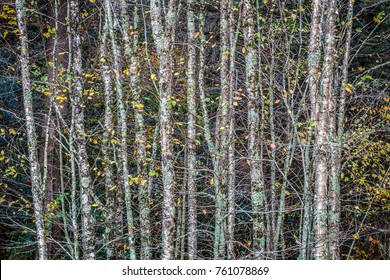 Trees in Fall - Great Smoky Mountains National Park