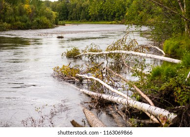 Trees fallen into the Chena River in Alaska.