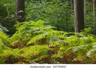 Trees and Ferns in a Wood,  Germany, Europe