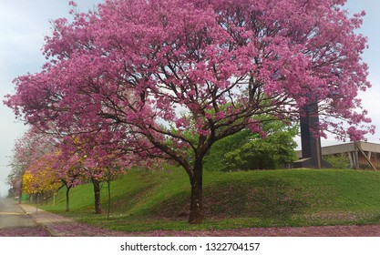 Trees at flowering time. Ipe yellow and pink.