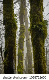 Trees in the fog showing strong vertical lines as small ferns grow out of the sides.