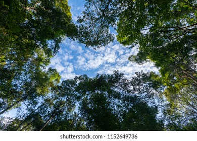 Trees in a forest, blue skies and a cloud in the background.
