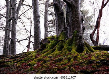 Trees in the forest covered with moss in foggy weather