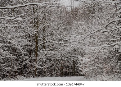 Trees in forest covered with snow