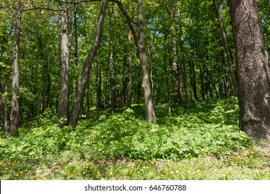 Trees in forest.. Green spring forest landscape